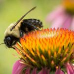 bees as pollinators